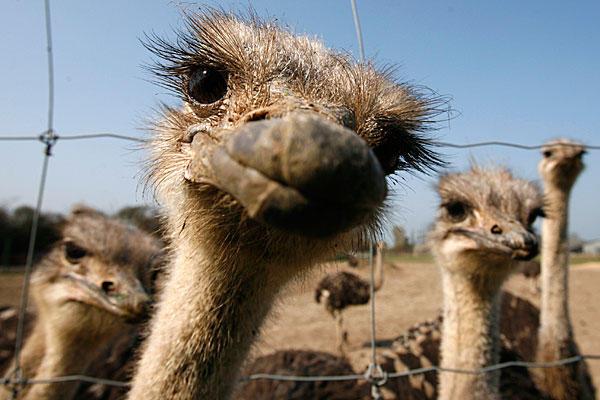 7-24-12-ostriches_full_600