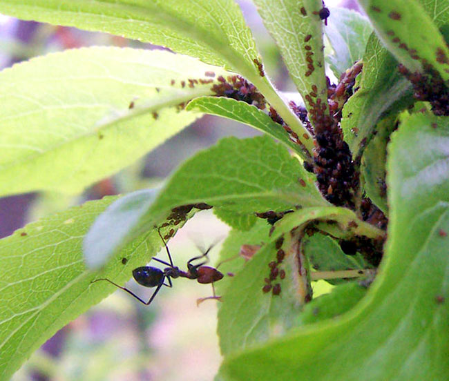 AI_33_ant_cultivating_aphid